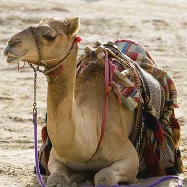Camel in Dubai desert