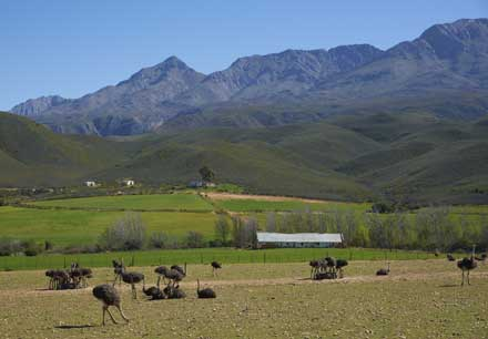 Ostrich farm in Outdshoorn