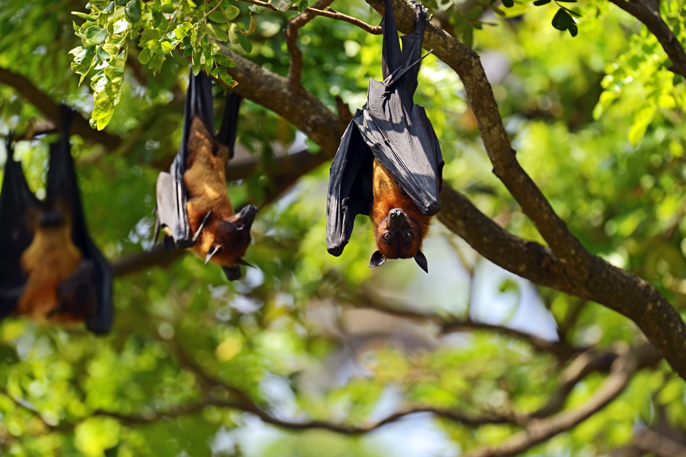 Sri Lankan flying foxes