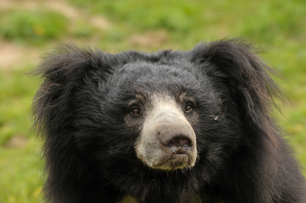 Sri Lankan sloth bear