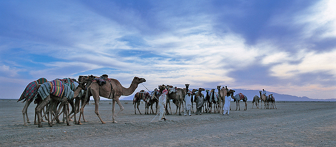 An image of camels in Abu Dhabi