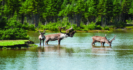Canadian Moose in river