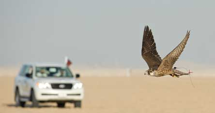 Qatar - Falcon in the desert